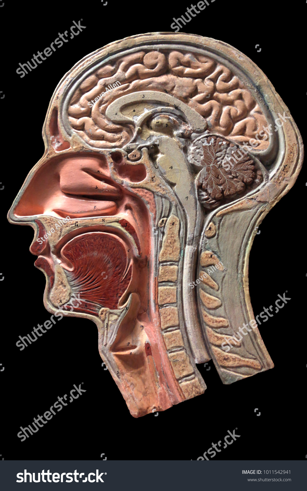 Vintage Anatomical Model Human Head Plaster Stock Photo Edit Now