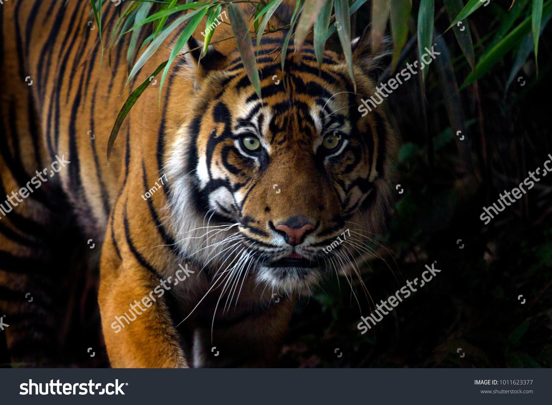 Beautiful Sumatran tiger on the prowl #1011623377