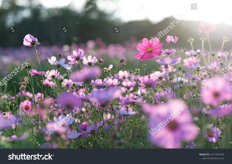 Field of cosmos flower #1011699703