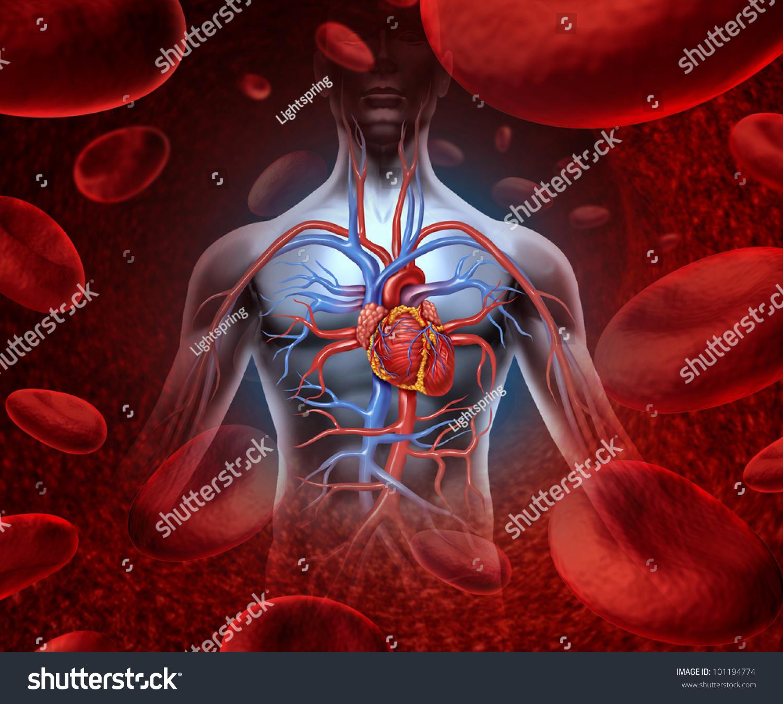 Human Heart Circulation Cardiovascular System Anatomy Stock ...