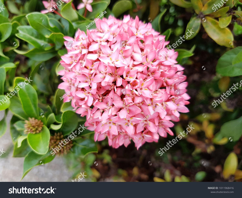 Ixora Flower Pink Spike Flower Ixora Blooming Stock Photo Edit Now