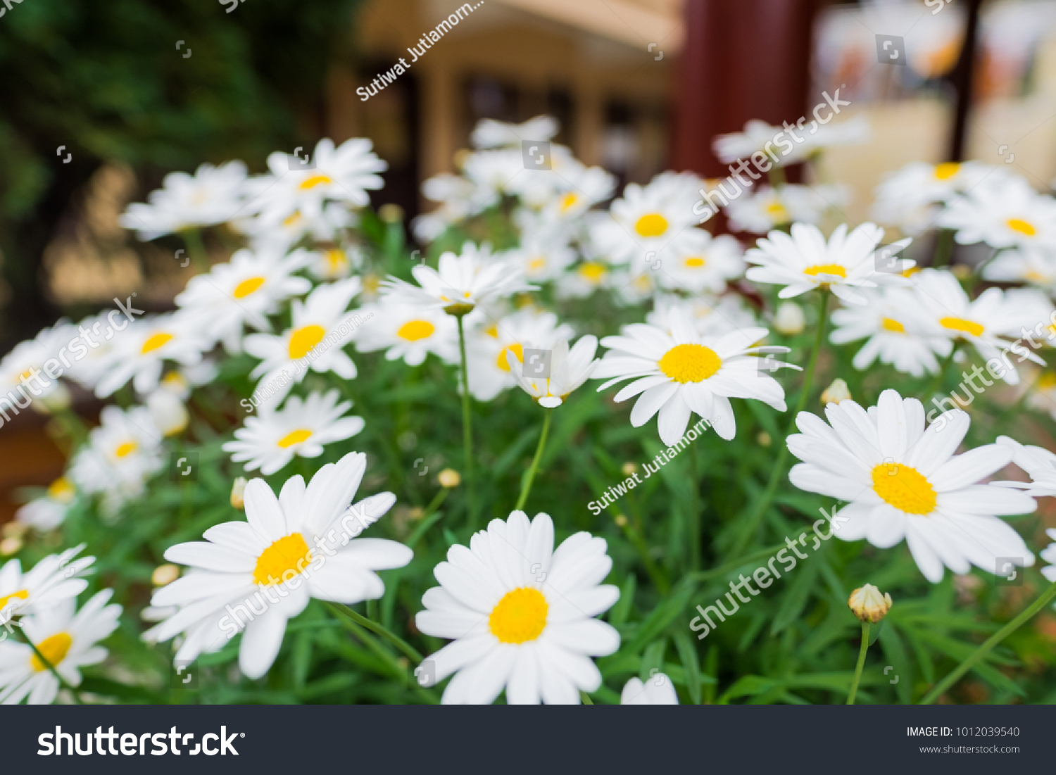 Daisies Aromatic European Plant Daisy Family Stock Photo Edit Now