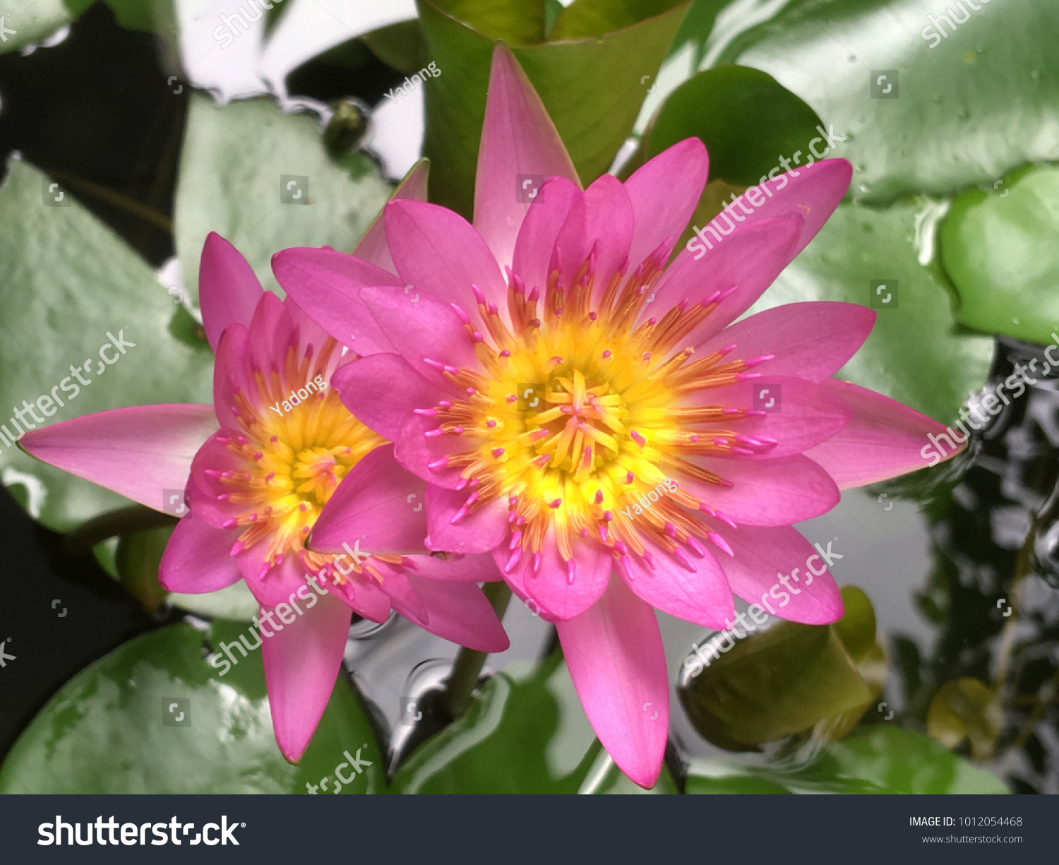 Top view of pink beautiful lotus flower ez canvas id 1012054468 izmirmasajfo