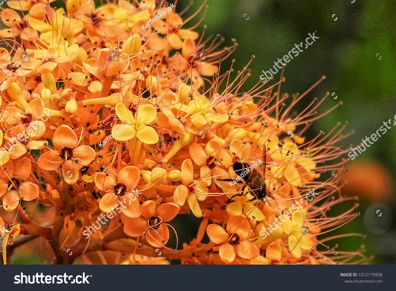 Fragrant Ashok Flowers On Tree Name Stock Photo Edit Now