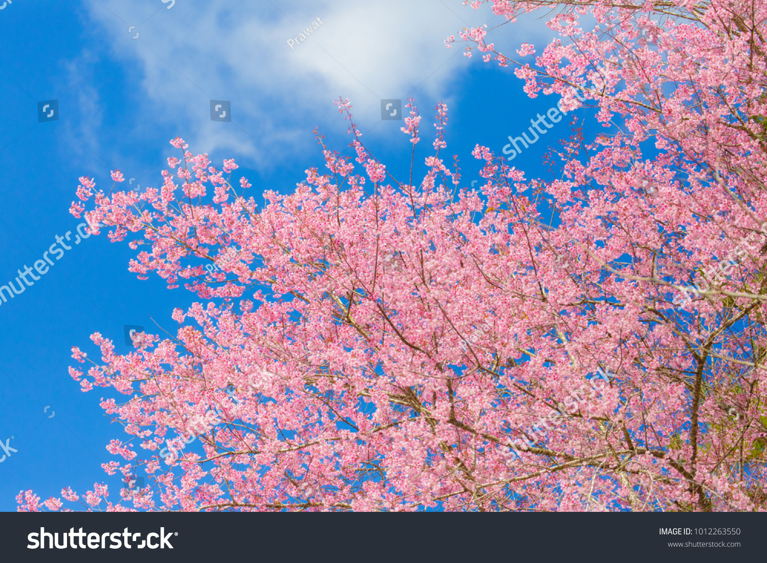 Beautiful pink flower tree blue sky stock photo edit now beautiful pink flower tree with blue sky background izmirmasajfo