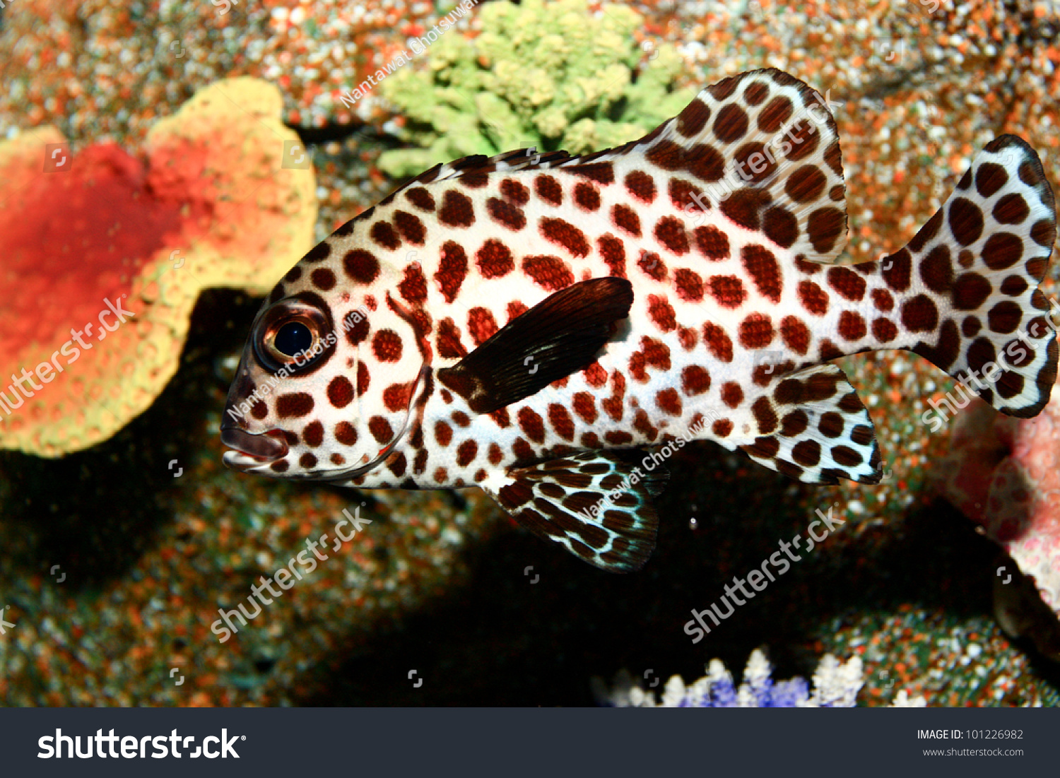 Spotted sweetlips fish stock photo 101226982 shutterstock for Sweet lips fish