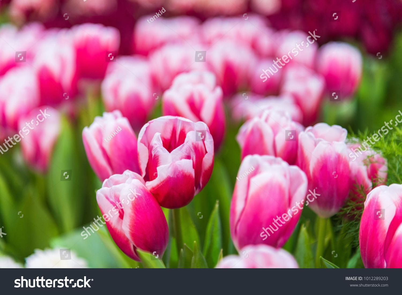 Pink Tulips Flowers Garden Background Beautiful Stock Photo Edit