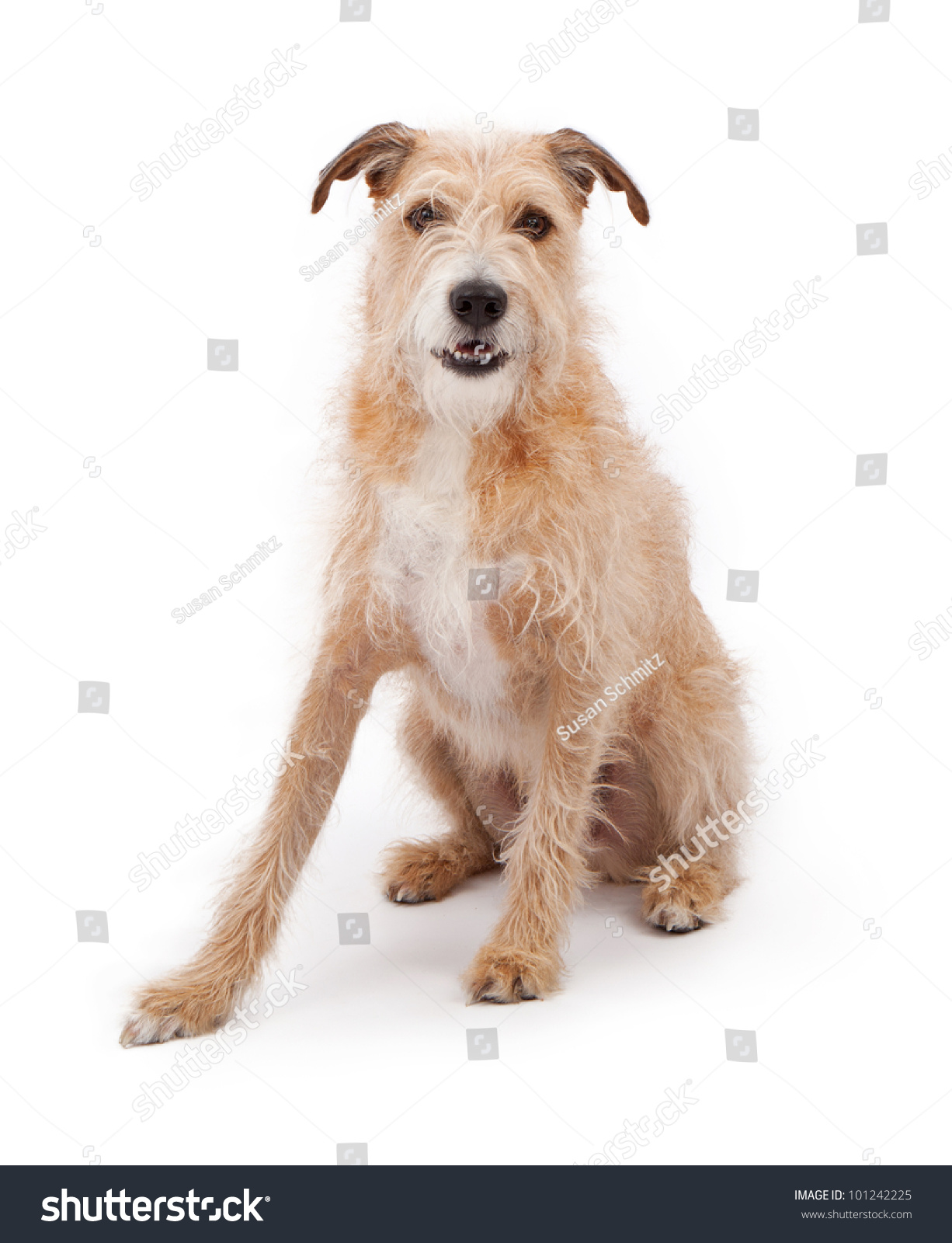 Large Mixed Breed Wire Hair Dog Stock Photo 101242225 ...