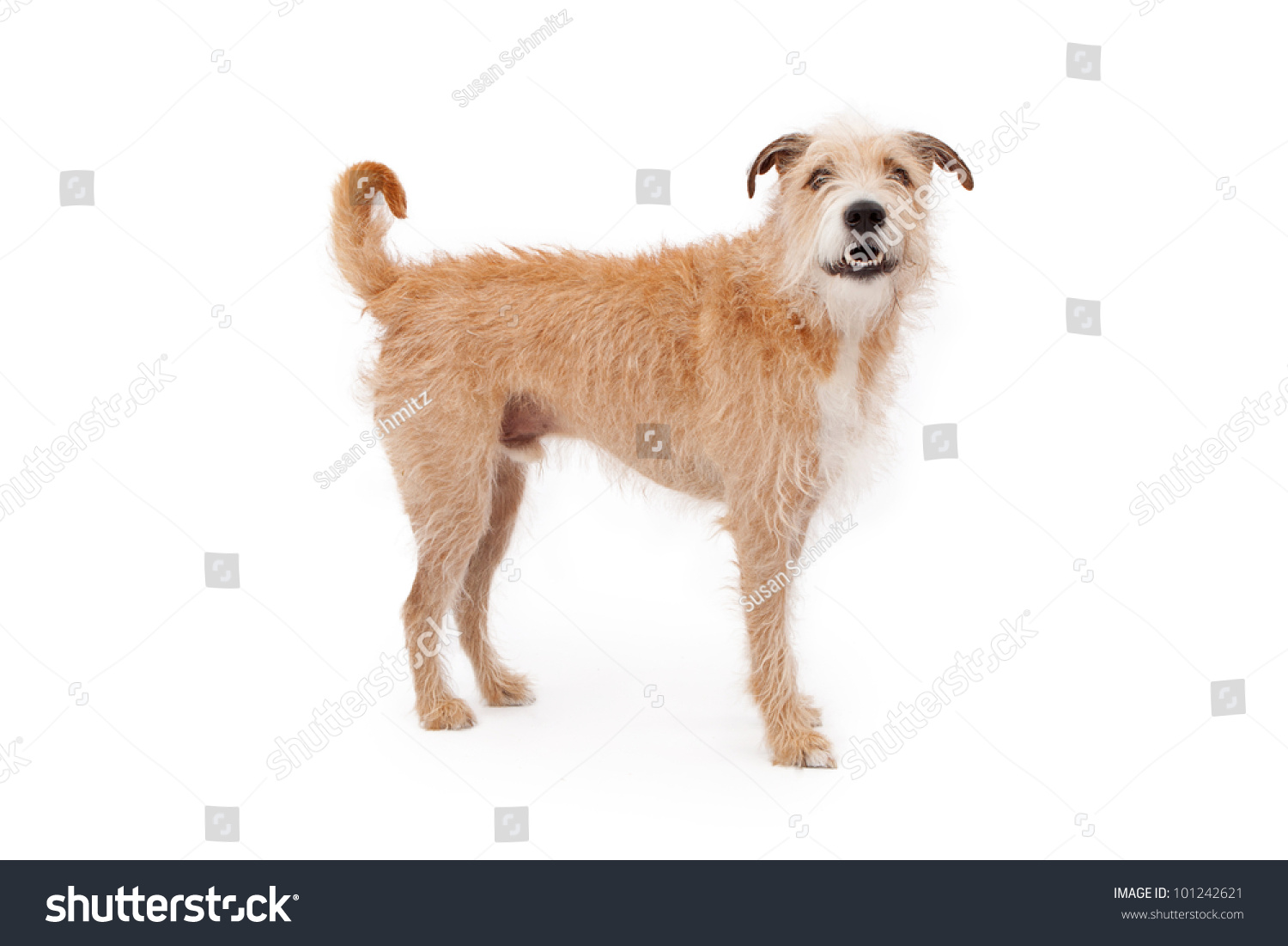 Large Mixed Breed Dog Wire Hair Stock Photo (Edit Now)- Shutterstock
