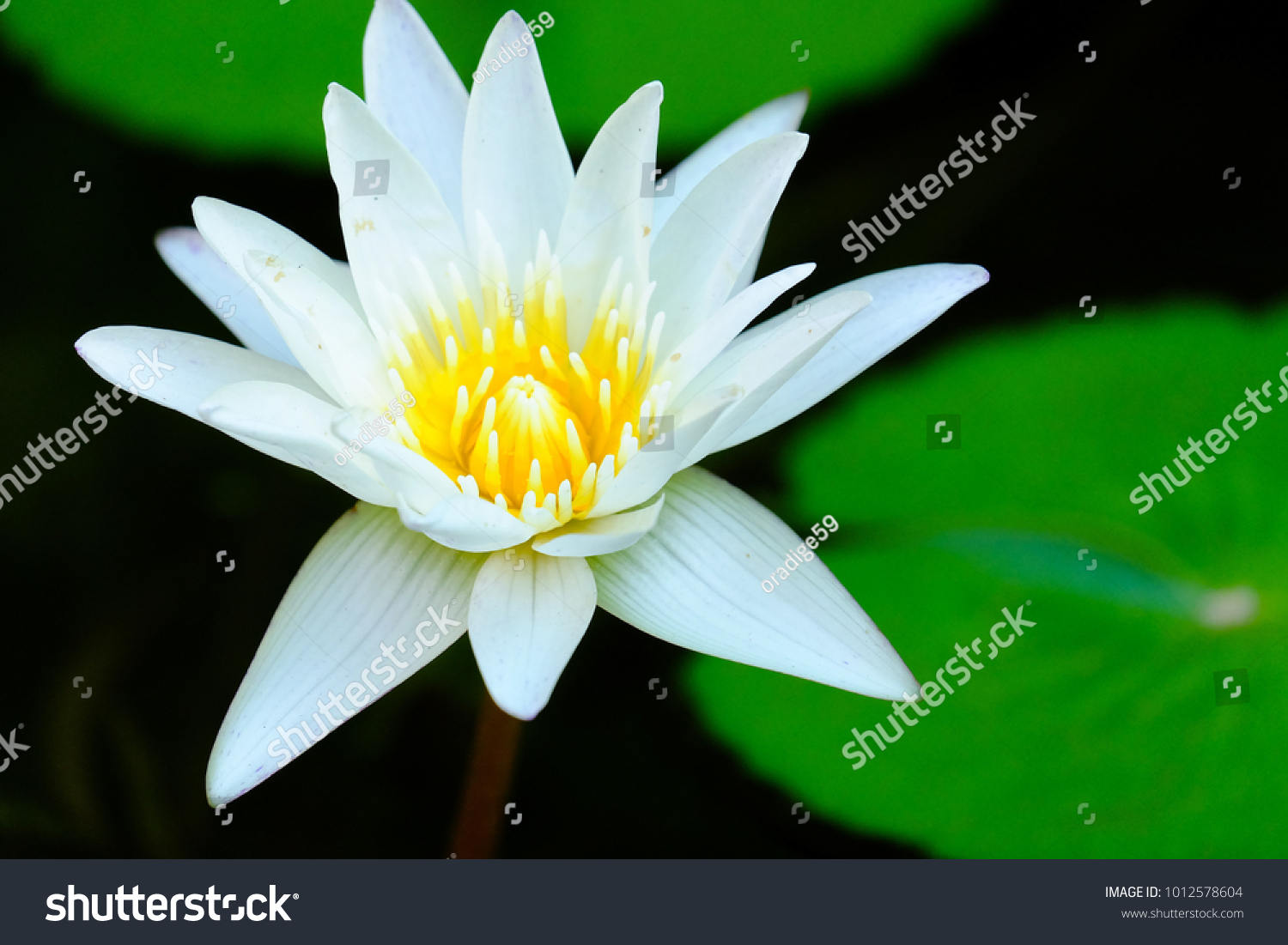 Close white lotus flower yellow pollen stock photo royalty free close up white lotus flower with yellow pollen blossom in a flower pond with blur big izmirmasajfo Image collections