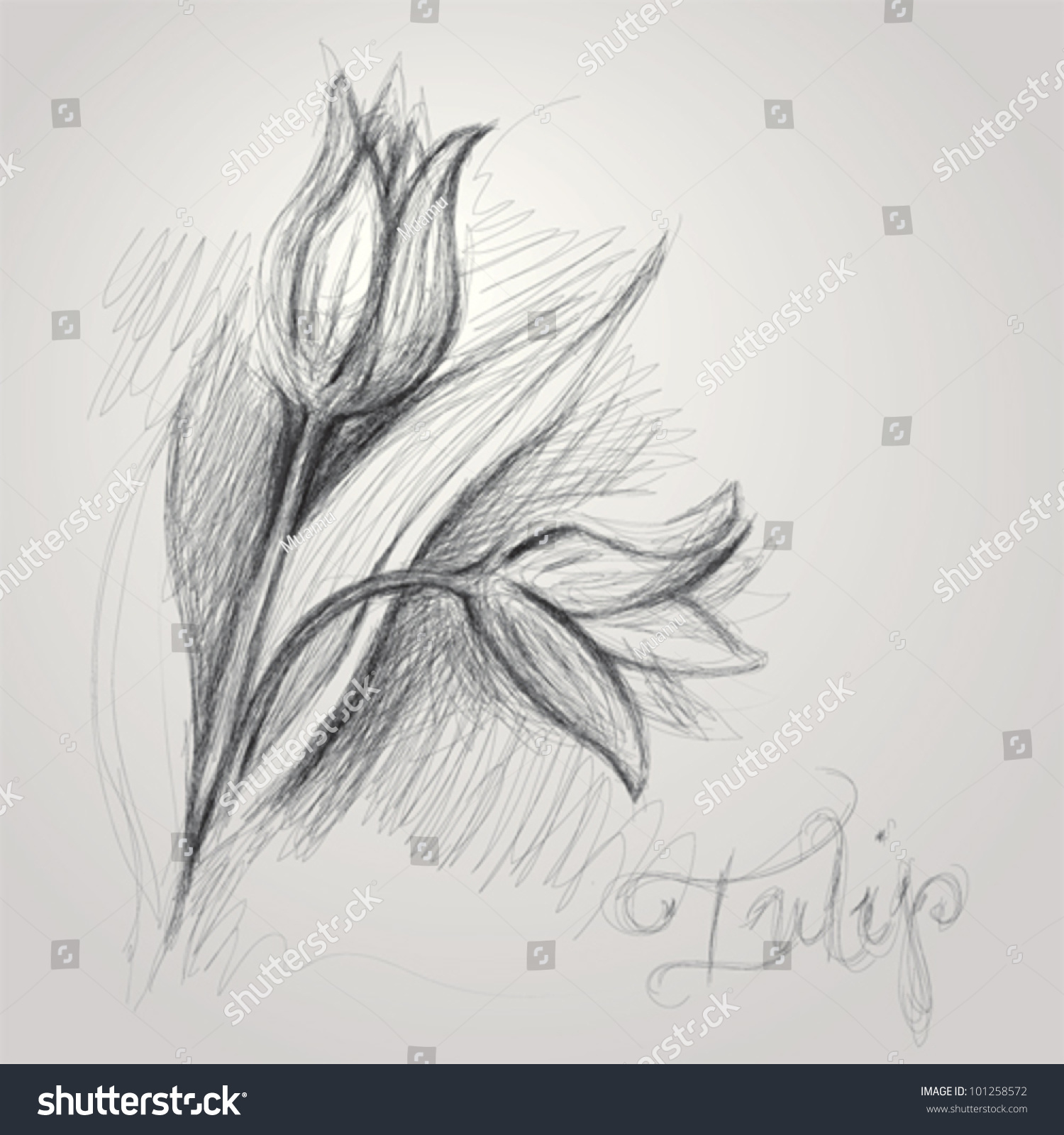 Tulip Realistic Sketch Flower Stock Vector 101258572 ...