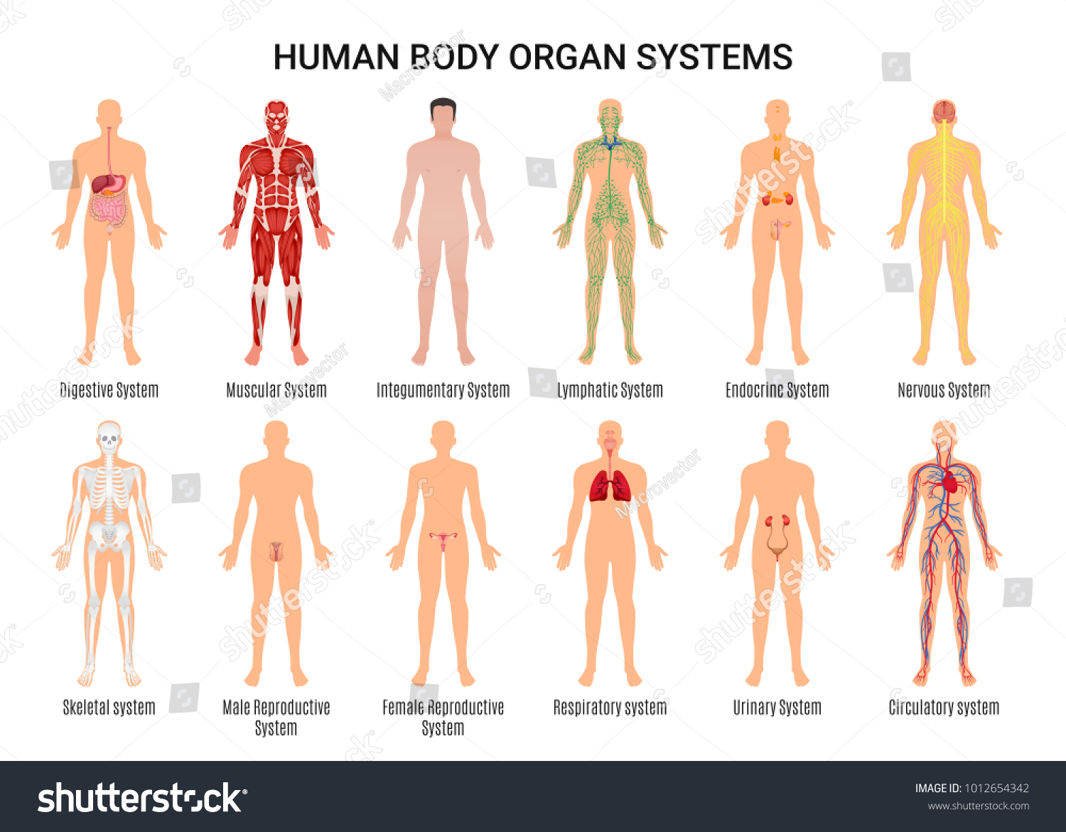 Main 12 Human Body Organ Systems Stock Vector 2018 1012654342