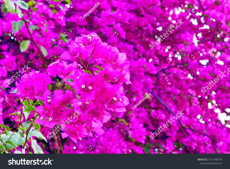 Close Ultraviolet Paper Flower Bougainvillea Blurry Stock Photo