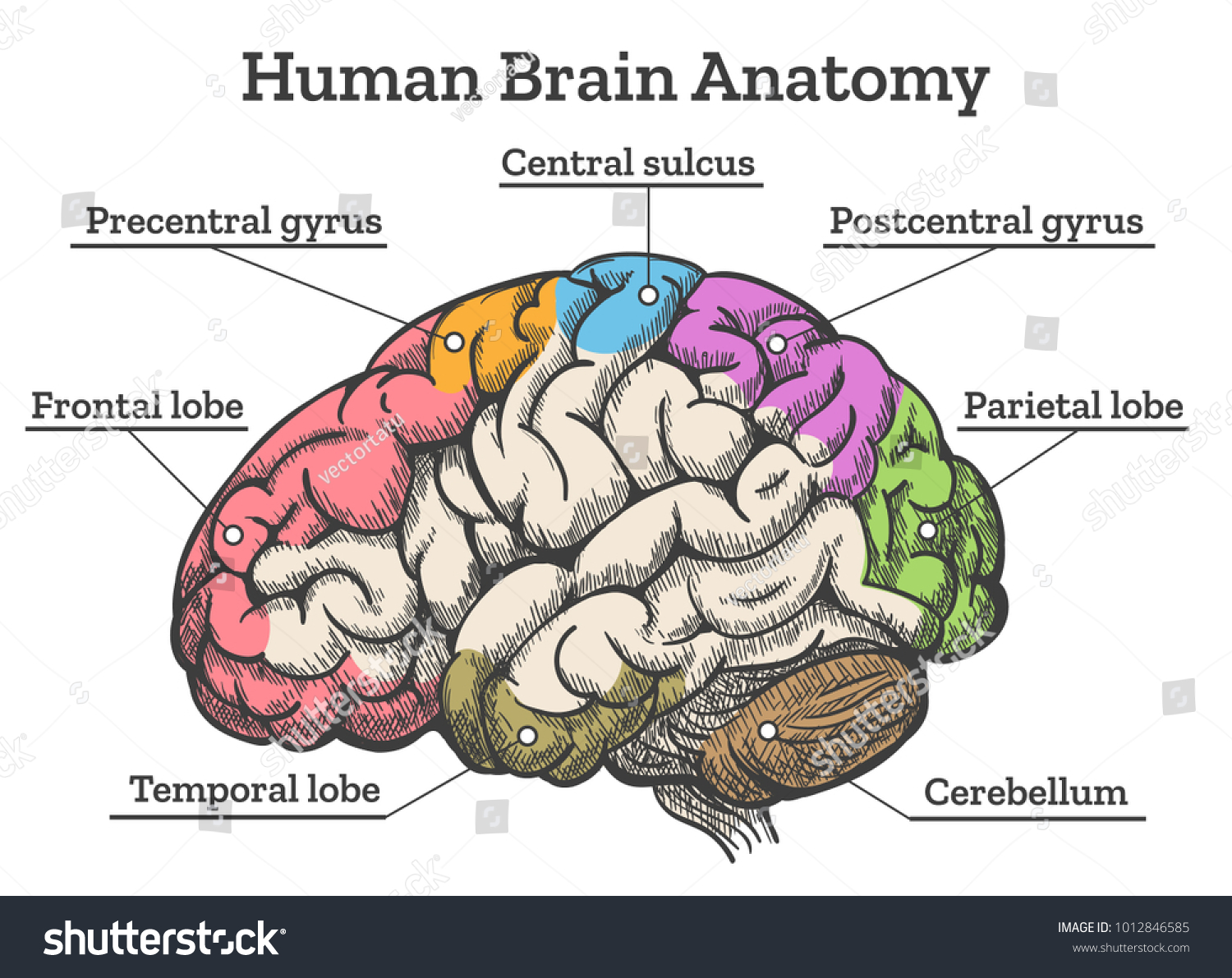 Human Brain Anatomy Diagram Sections Head Stock Vector Royalty Free