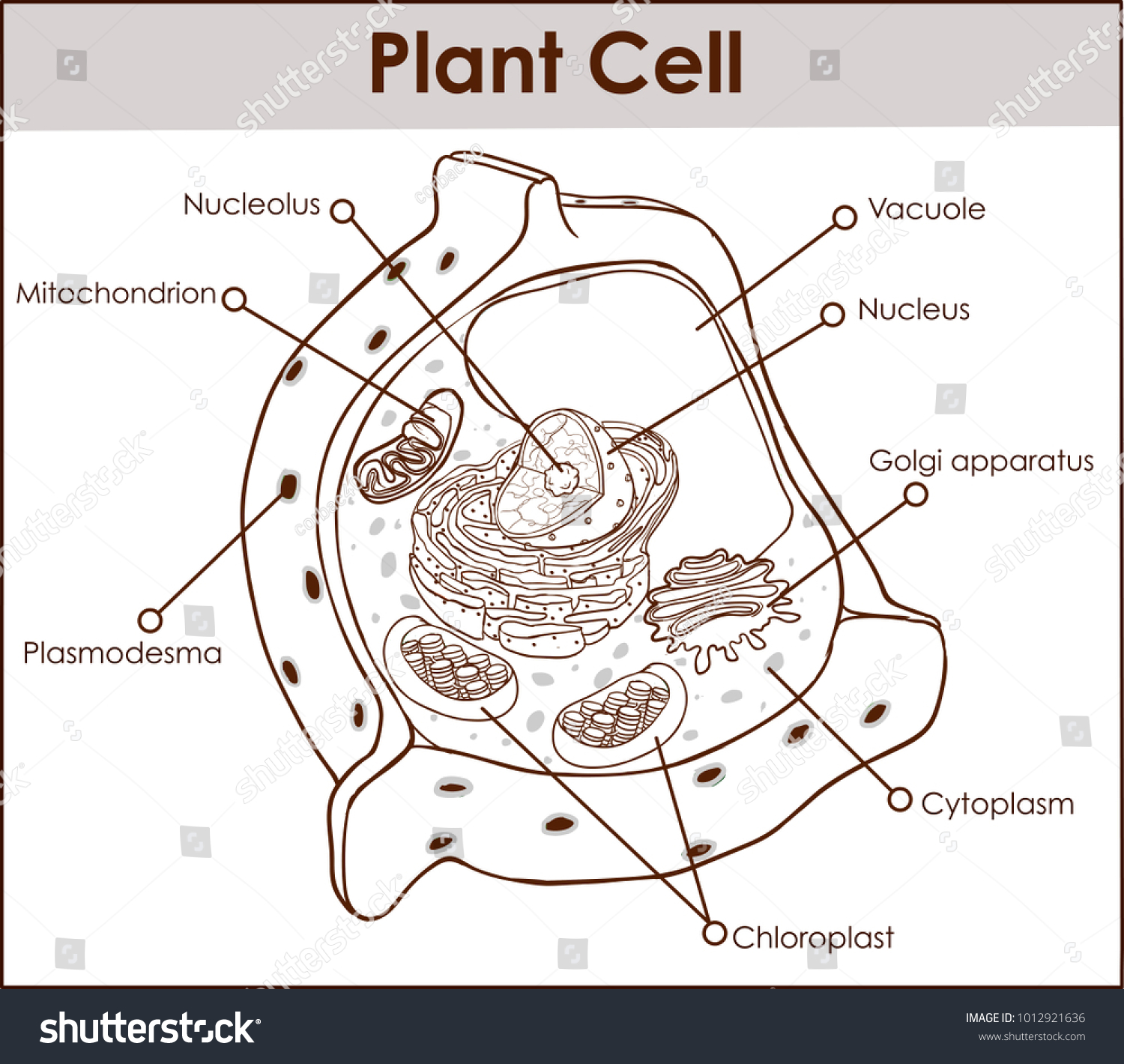 Plant cell anatomy diagram structure all stock vector 1012921636 plant cell anatomy diagram structure with all part nucleus smooth rough endoplasmic reticulum cytoplasm golgi apparatus ccuart Gallery