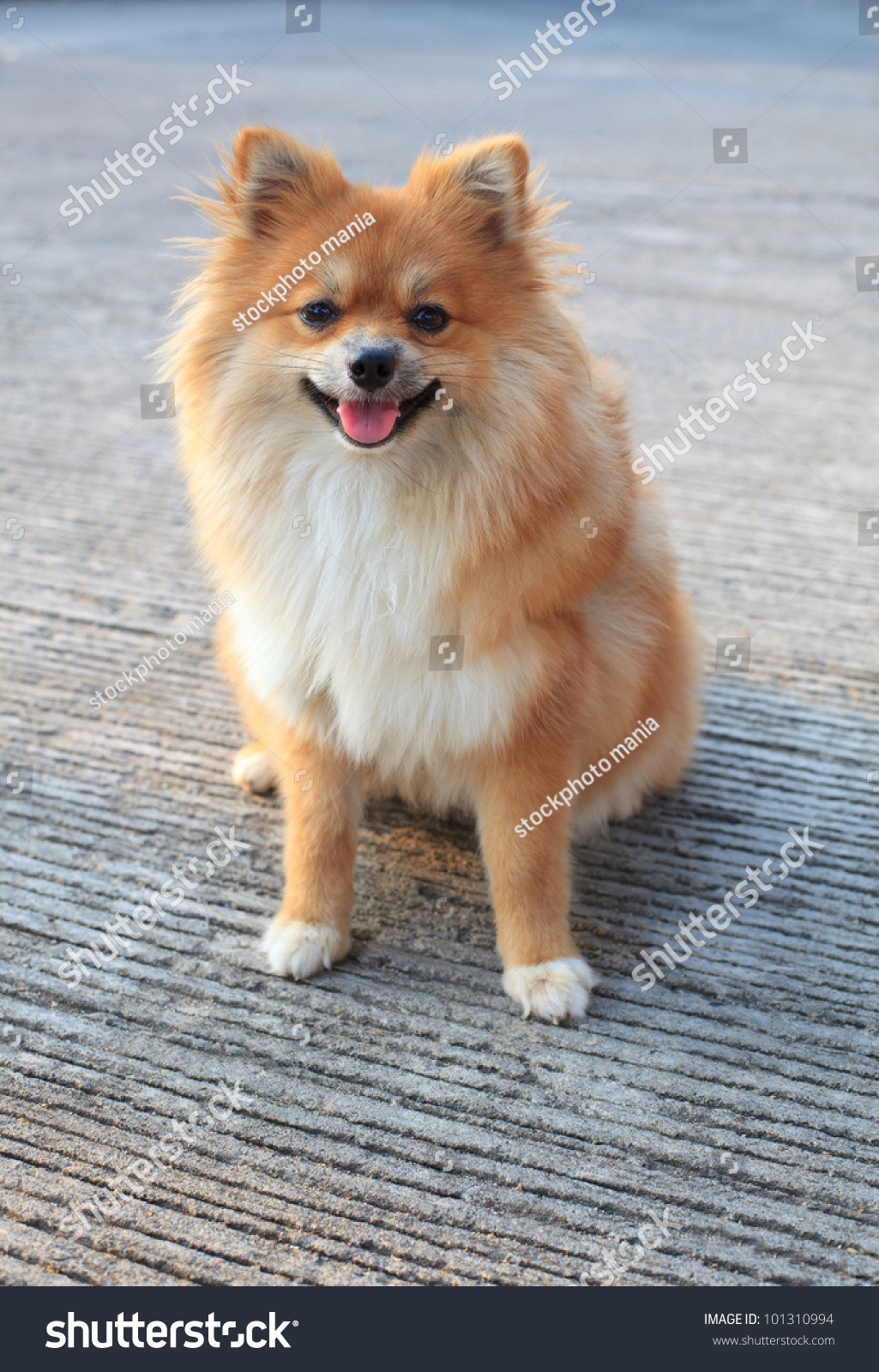 pomeranian faces face of pomeranian dog standing in the park stock photo 8202