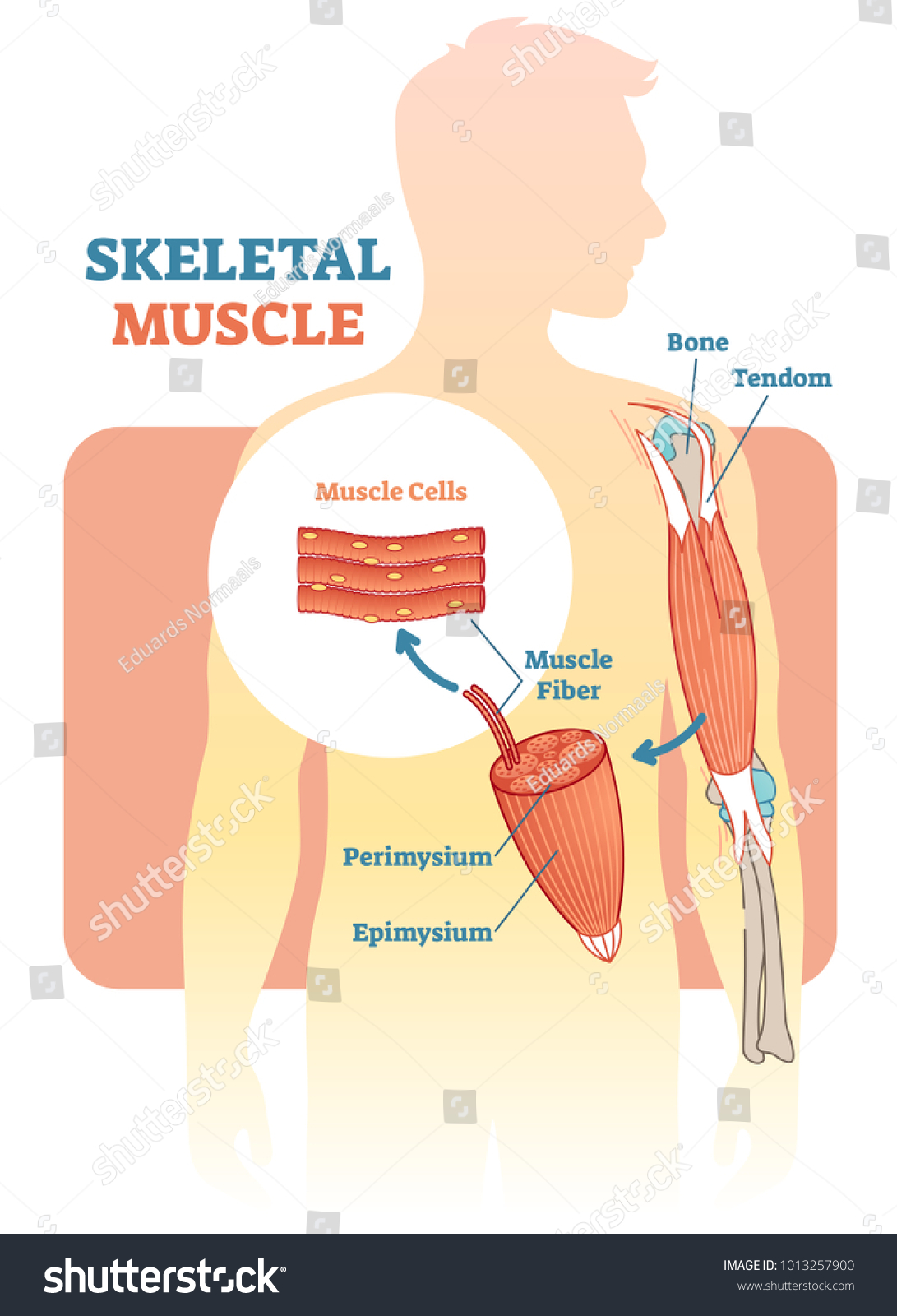 Skeletal Muscle Vector Illustration Diagram Anatomical Stock Vector
