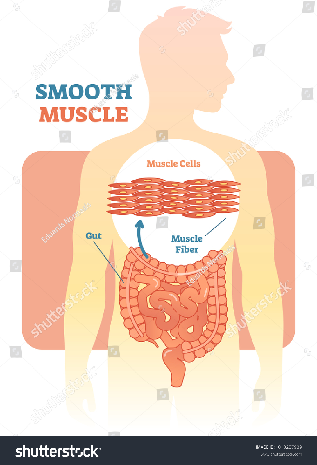 Smooth Muscle Vector Illustration Diagram Anatomical Stock Vector ...