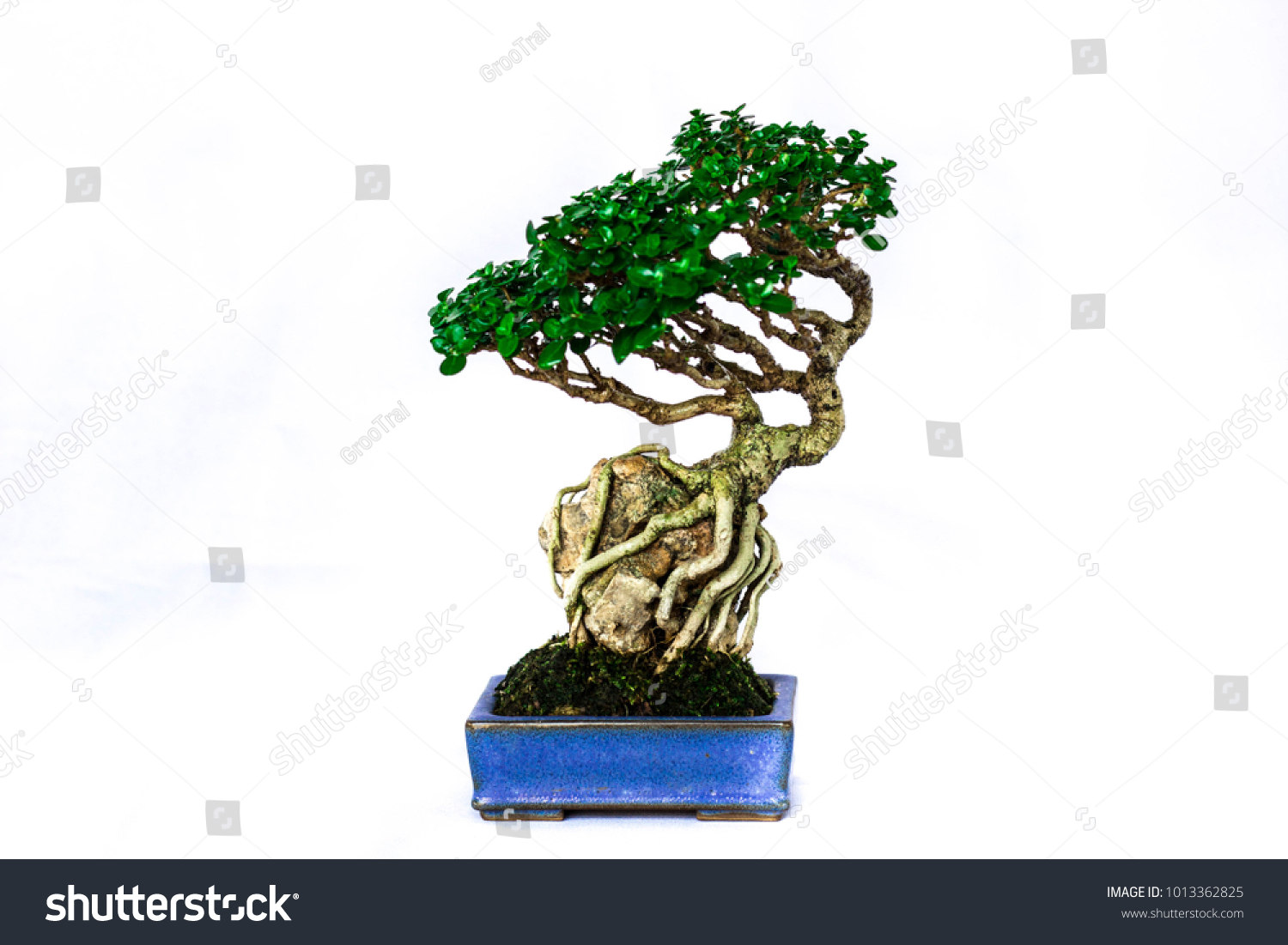 Tree Bonsai Roots Over Rock Japanese Stock Photo Edit Now Wiring Styles Of Style In The Blue Pot On Front