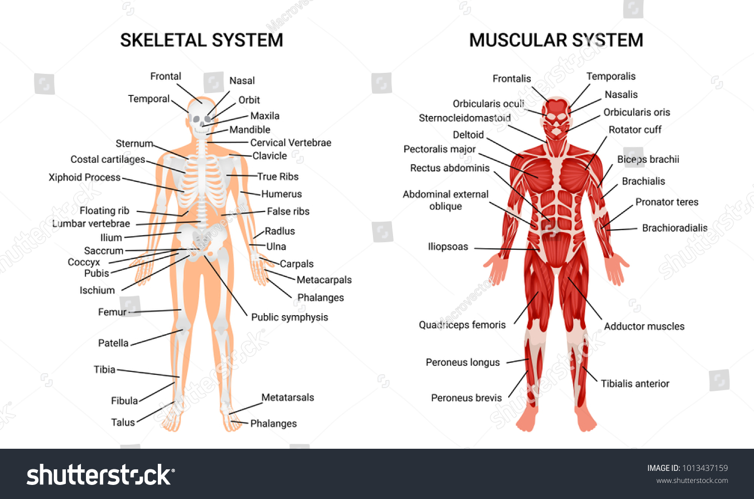 Muscular Skeletal Systems Anatomy Chart Complete Stock Vector