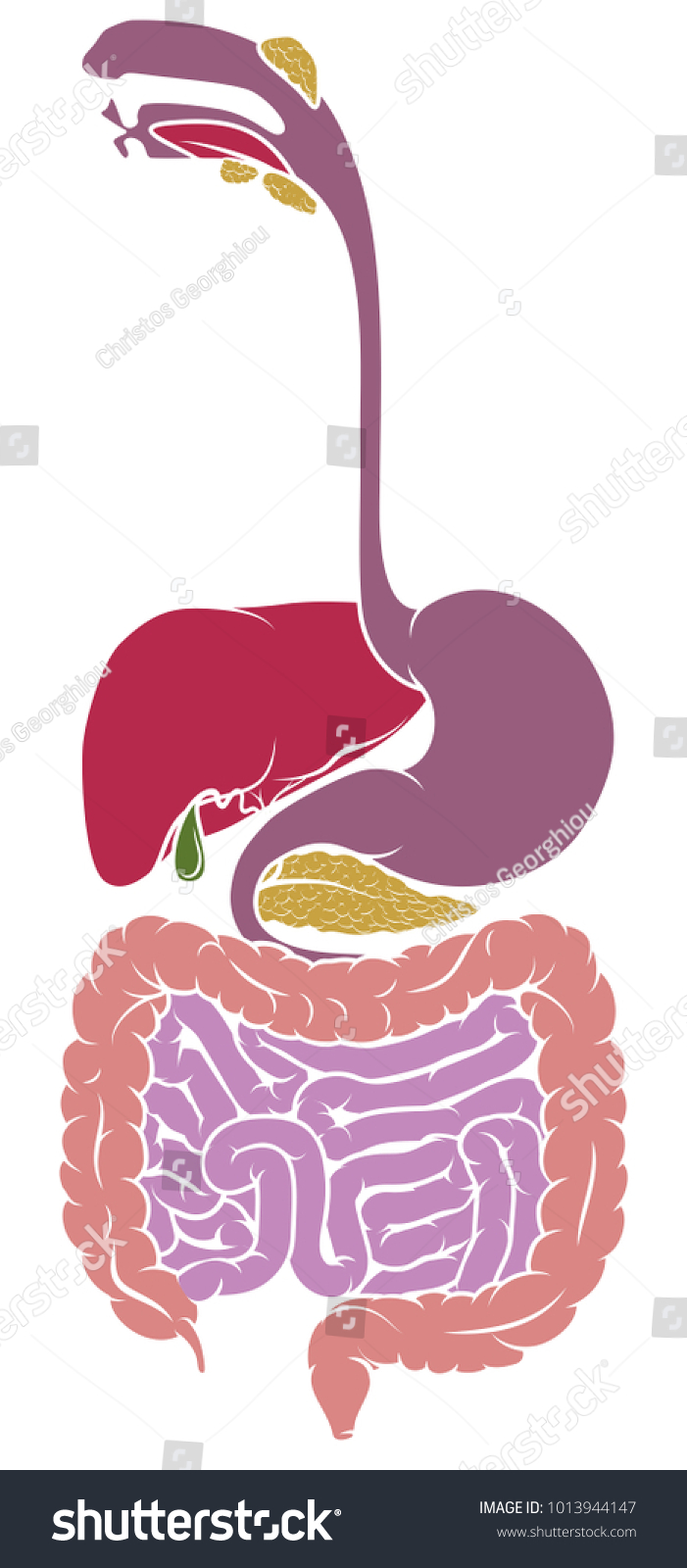 Human Anatomy Diagram Gut Gastrointestinal Tract Stock Vector ...