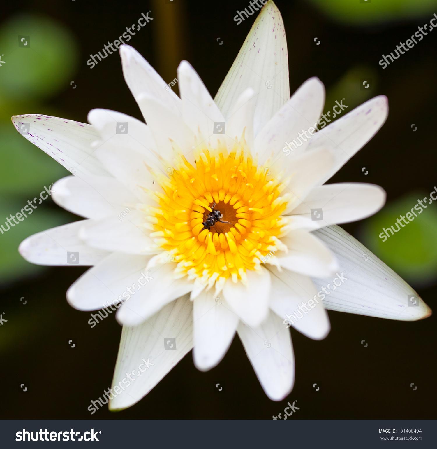 White lotus flower ez canvas izmirmasajfo