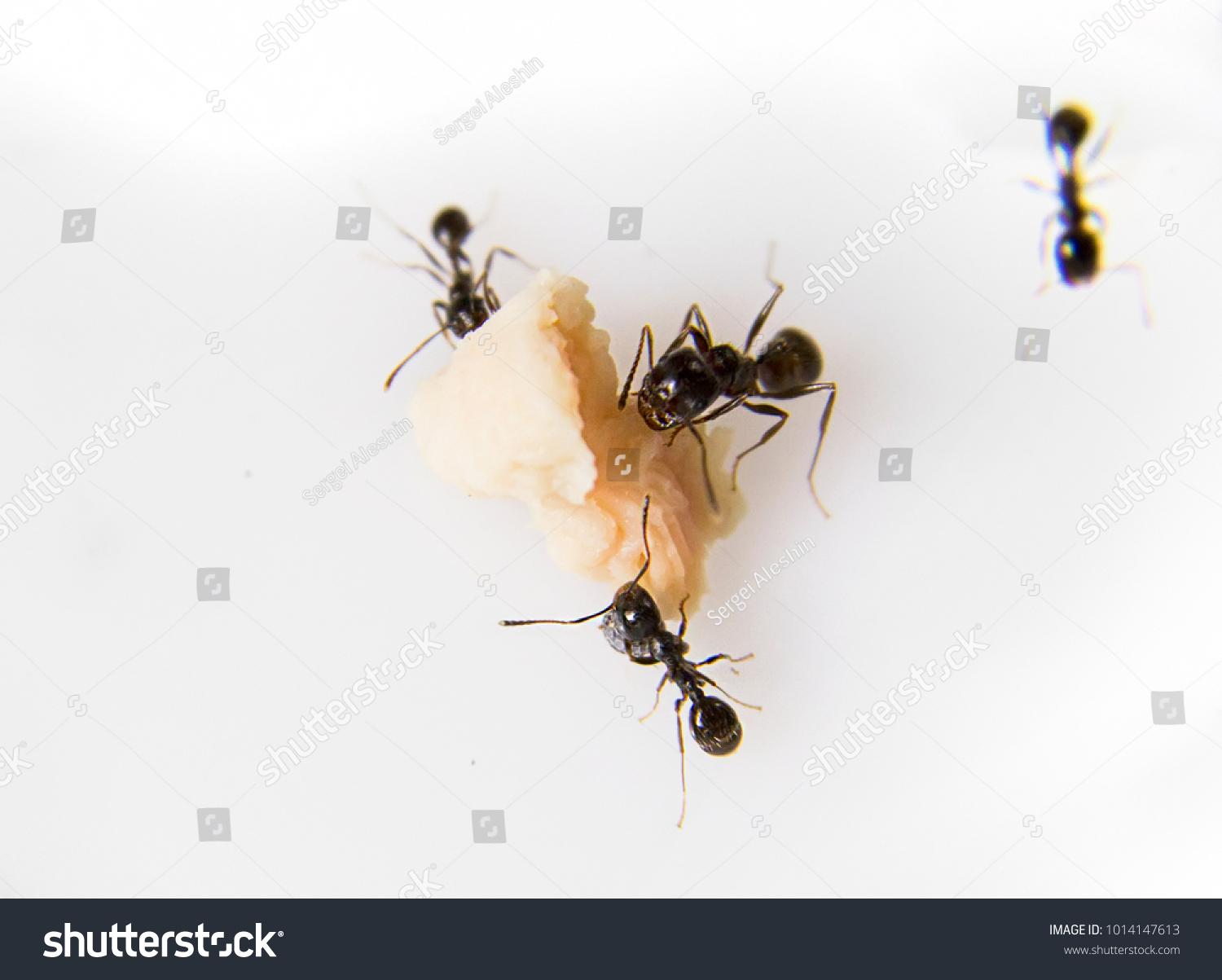 Ants Kitchen Black Ants On White Stock Photo (Royalty Free ...