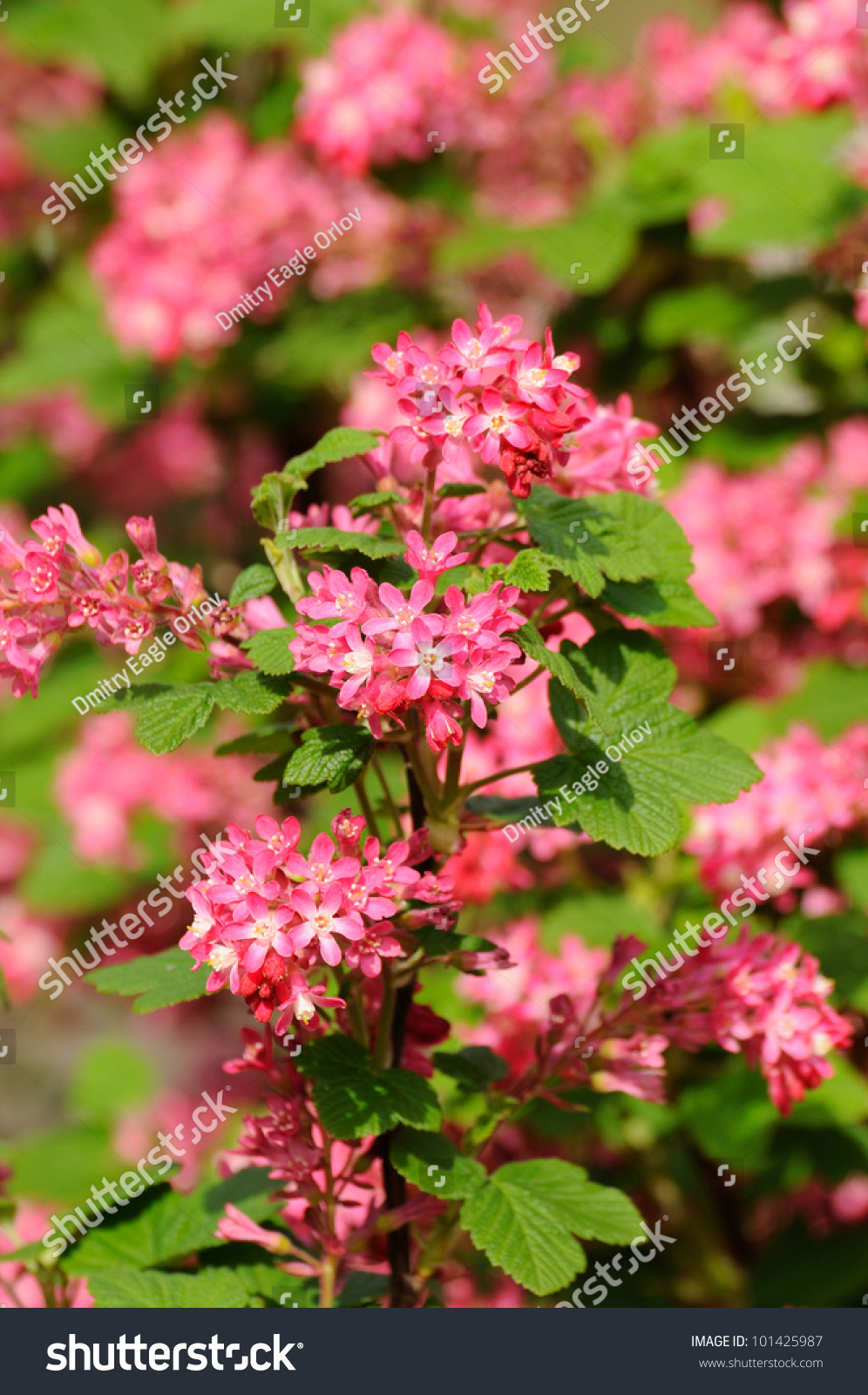Tree Branch With Small Pink Flowers In Fulda Hessen Germany Ez