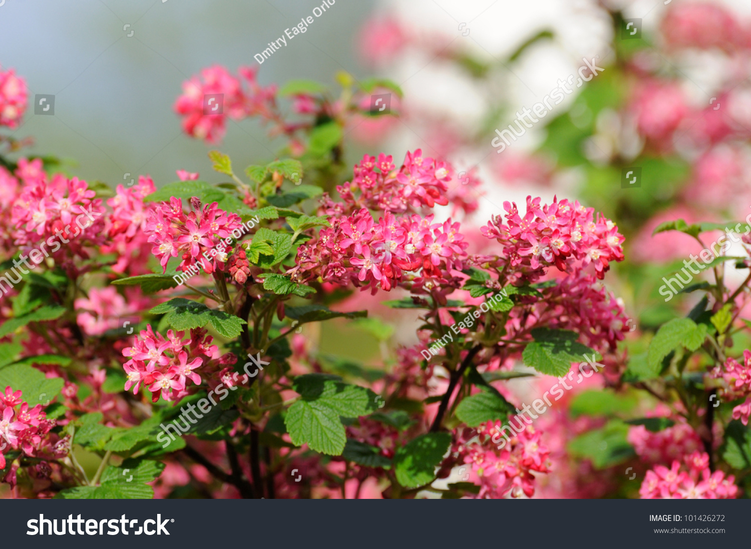 Tree Branch Small Pink Flowers Fulda Stock Photo Edit Now