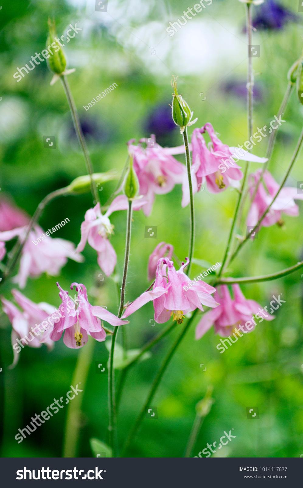 Photo Pink Aquilegia Flowers Garden Common Stock Photo Edit Now