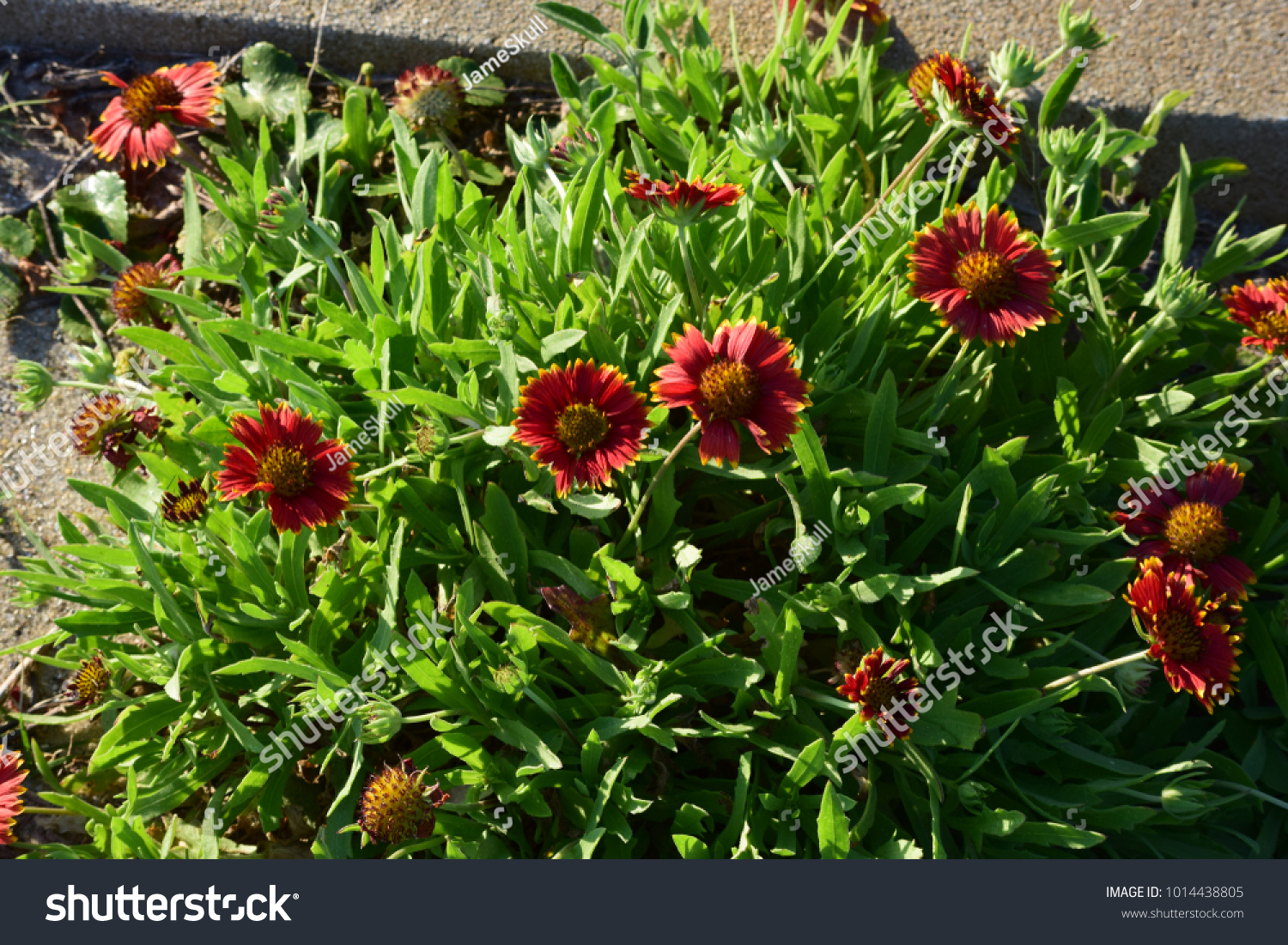 Red Flower Yellow Tips Green Grass Stock Photo Edit Now 1014438805