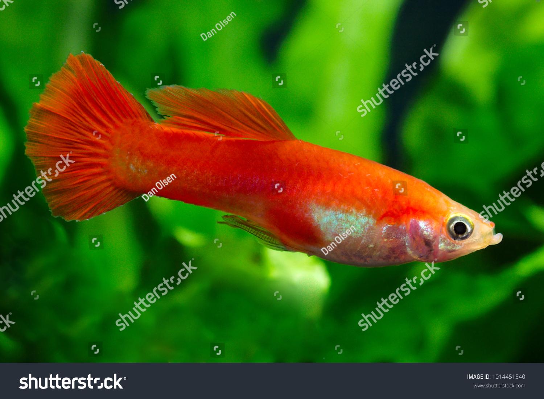 Common Aquarium Fish Gyppy Poecilia Reticulata Stock Photo & Image ...