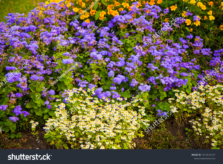 Small Violet Yellow Flowers Garden Fresh Stock Photo Image