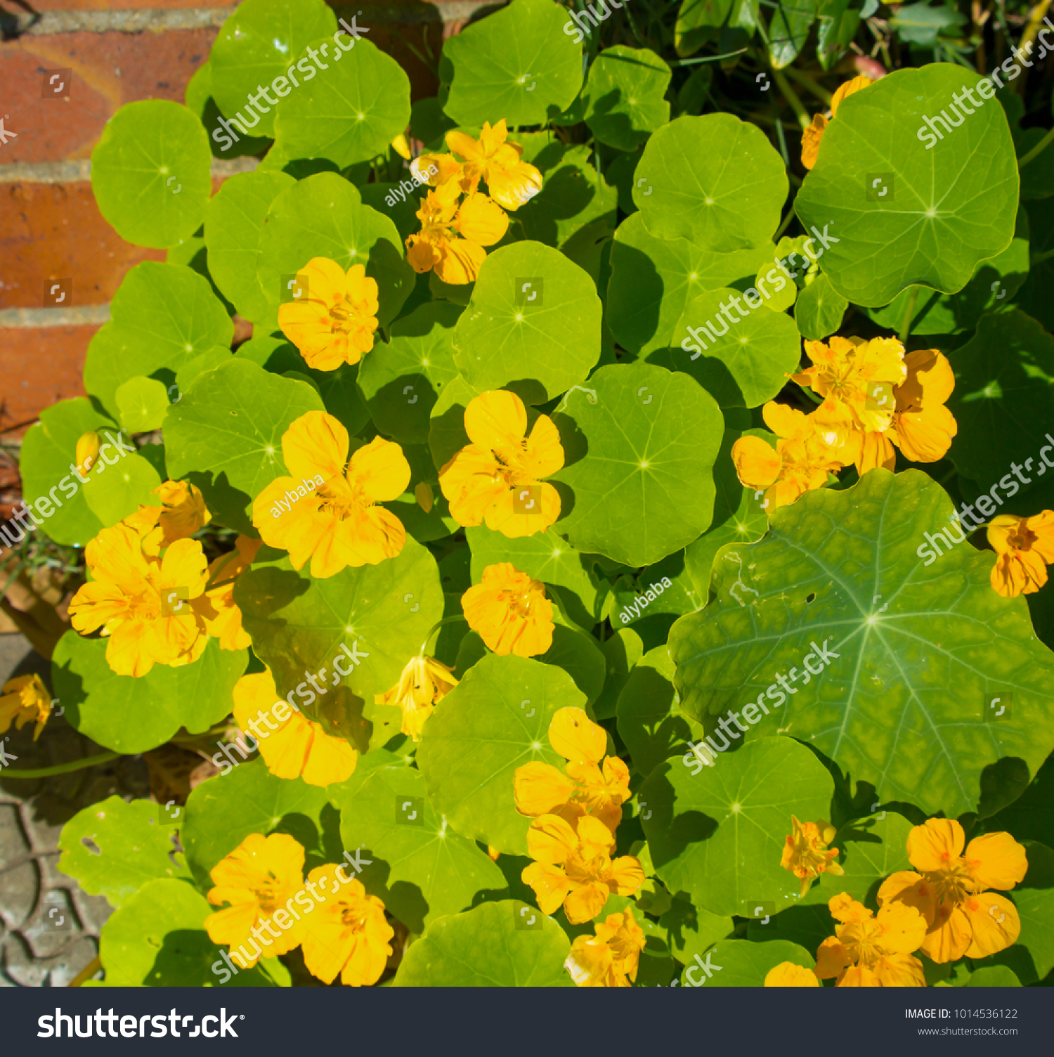 Pretty Yellow Flowers Common Garden Nasturtium Stock Photo Royalty
