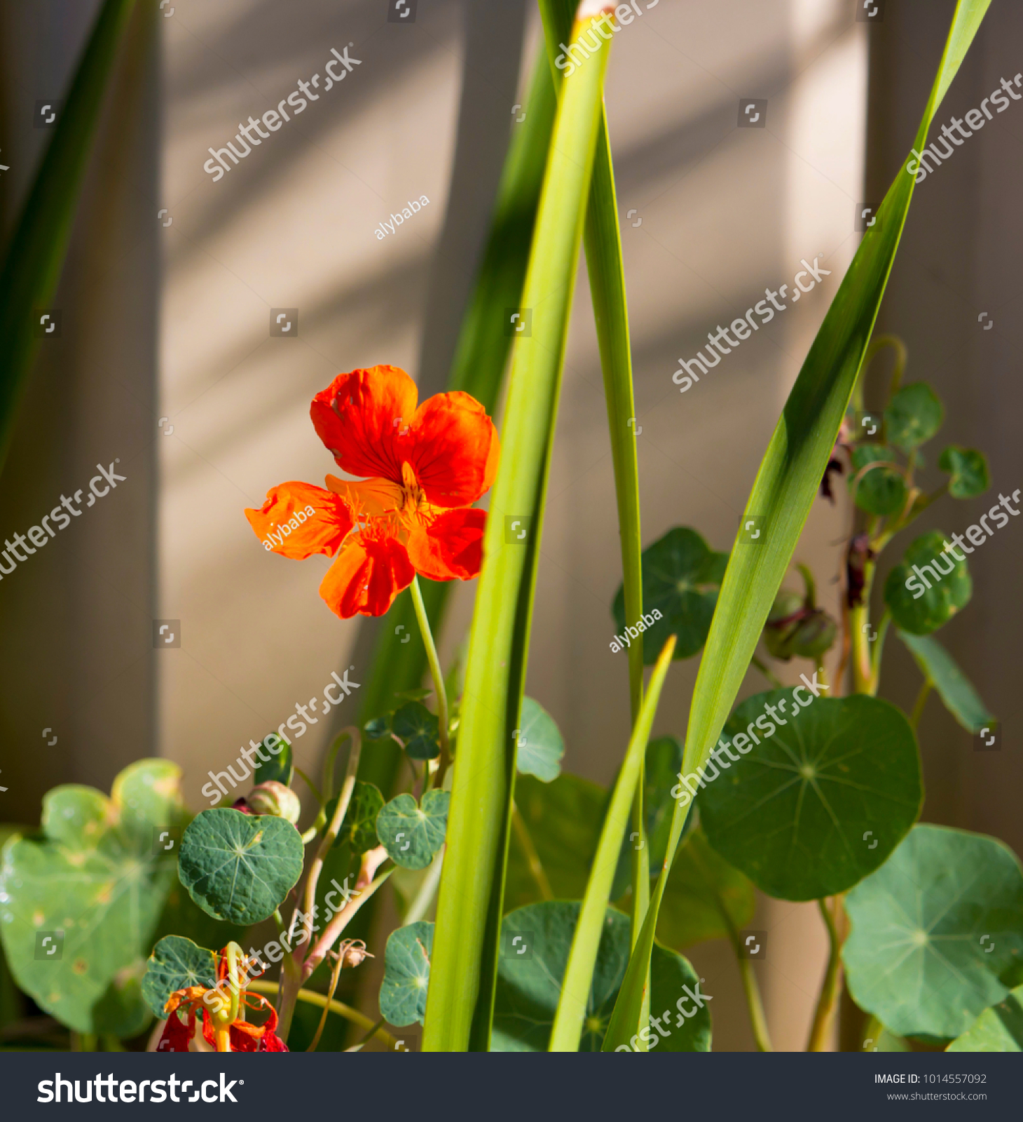 Pretty Orange Flowers Common Garden Nasturtium Stock Photo Edit Now