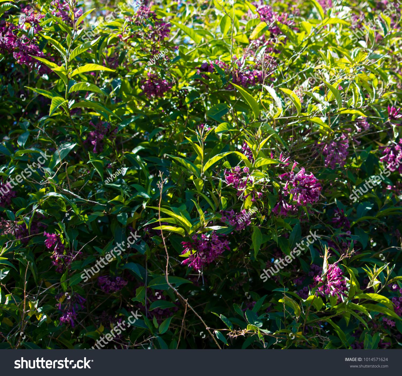 Cestrum purple x Cretan Purple Rare Color Plant FREE SHIP