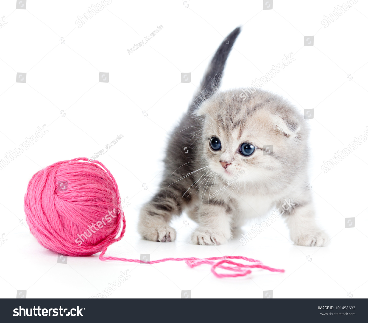 British Baby Cat Playing Red Clew Stock Shutterstock
