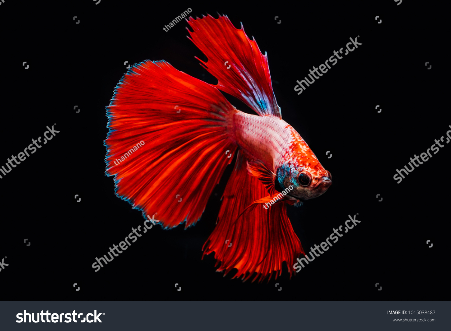 Red Fighting Fish Siamese Betta On Stock Photo (Download Now ...
