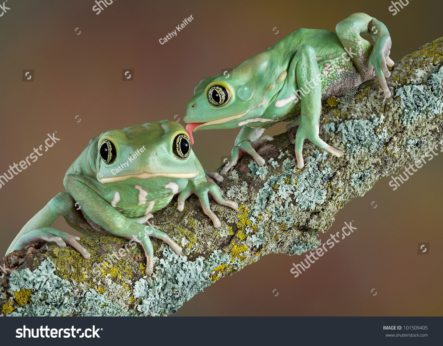 One Waxy Tree Frog Licking Another Stock Photo 101509405 ...