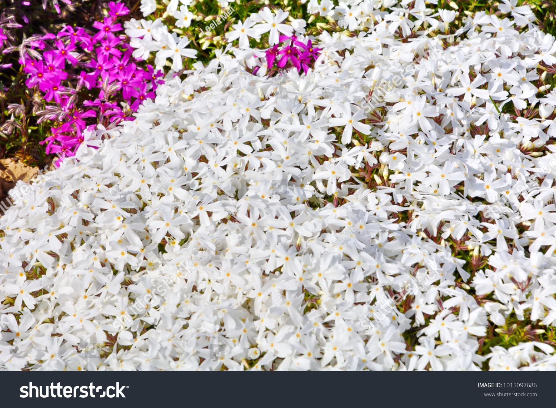 White Moss Phlox Flowers Stock Photo Edit Now 1015097686