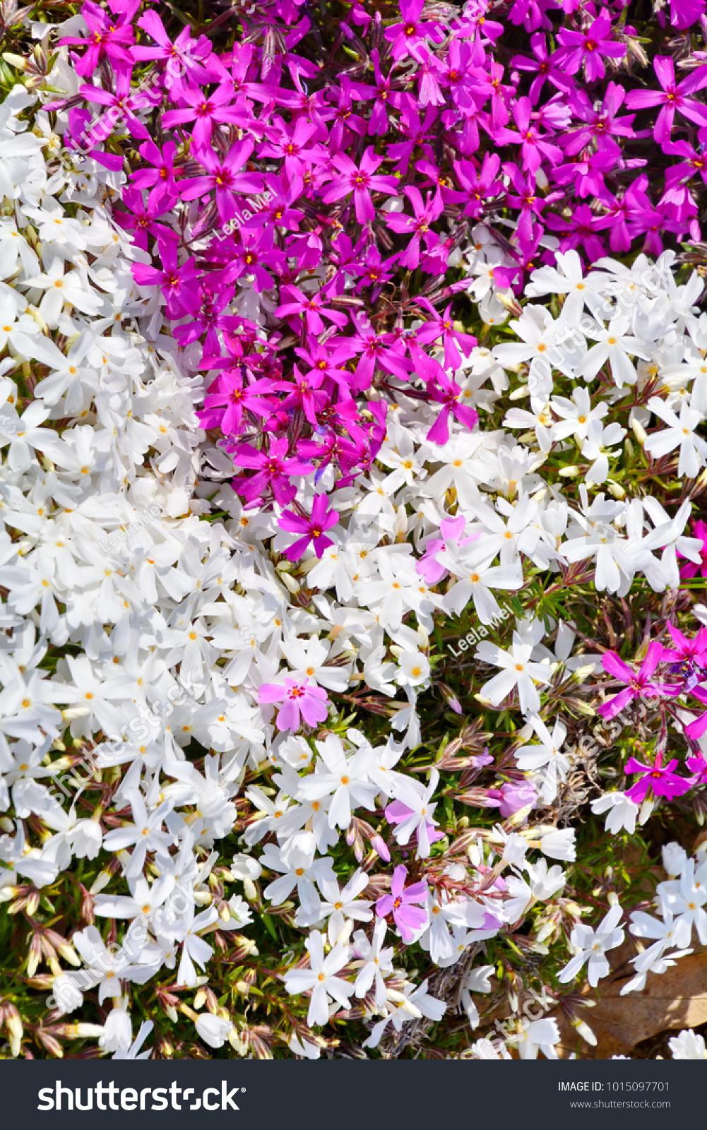 White Moss Phlox Flowers Stock Photo Edit Now 1015097701