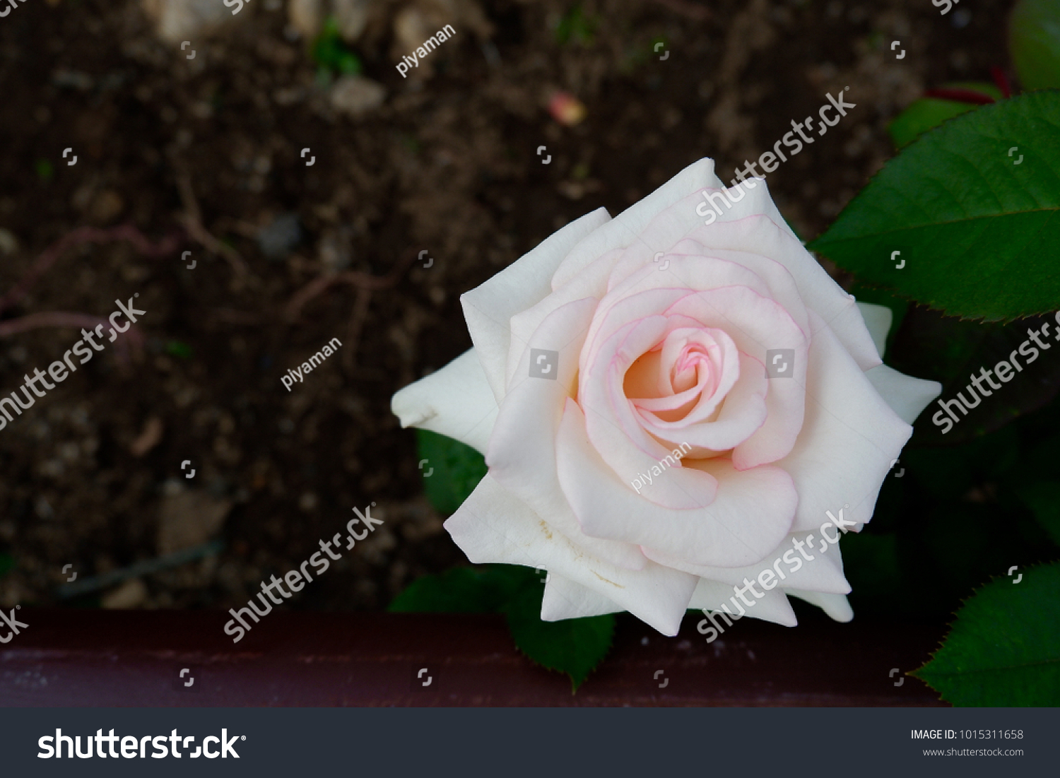 White pink rose beautiful flower rose stock photo edit now white pink rose is the beautiful flower the rose means love or passion in izmirmasajfo