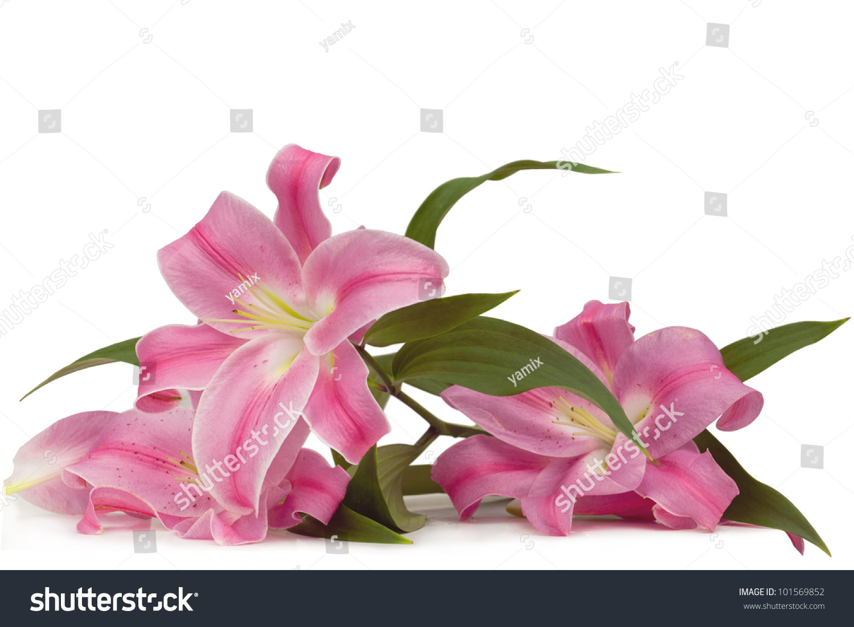 Pink Lily Flower Arrangement On White Background Ez Canvas