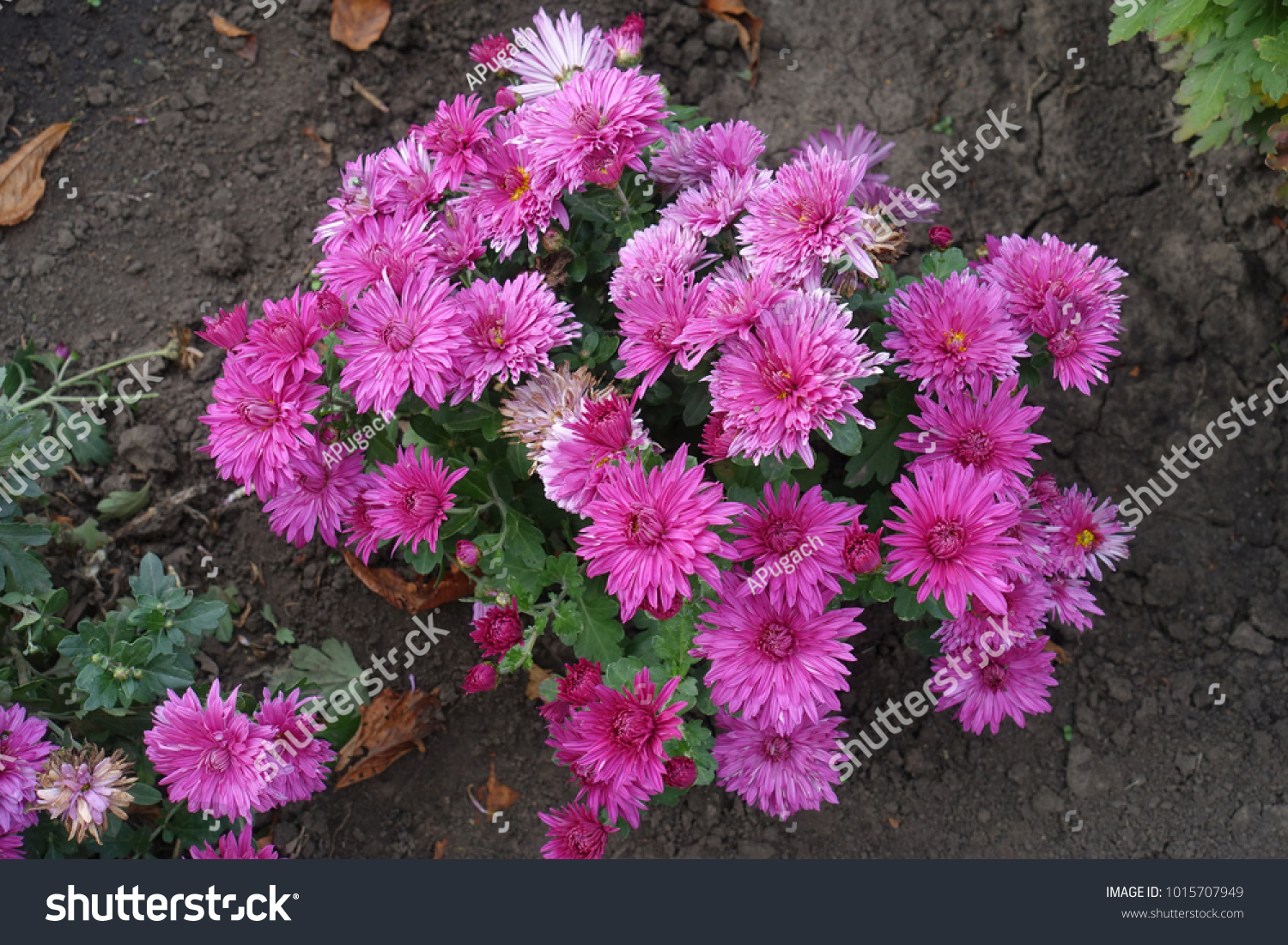 Small Bush Chrysanthemum Big Pink Flowers Stock Photo Edit Now