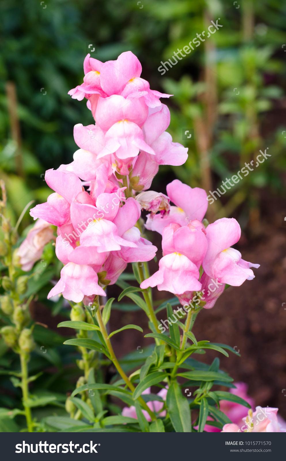 Hydrangea Pink Flower Ez Canvas