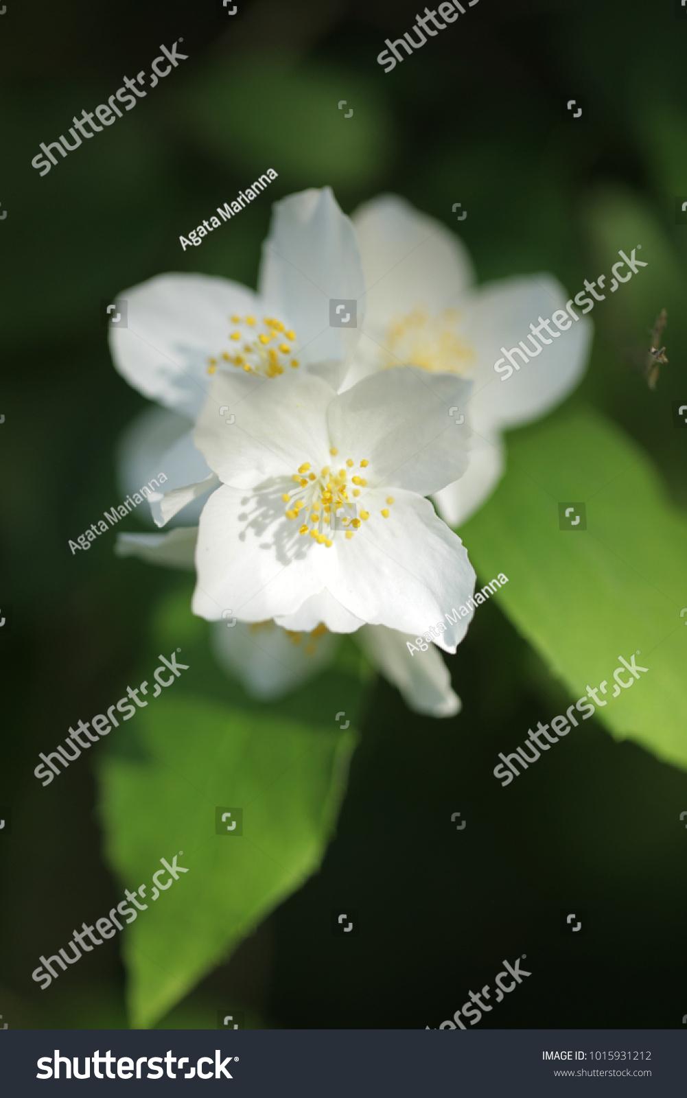 Few Beautiful Jasmine Flowers Growing Nature Detail Ez Canvas