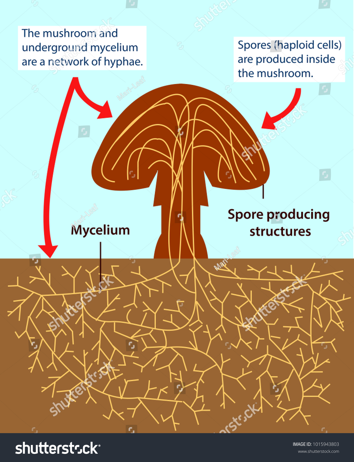 Vector Illustration Structure Multicellular Fungi Colourful Stock ...