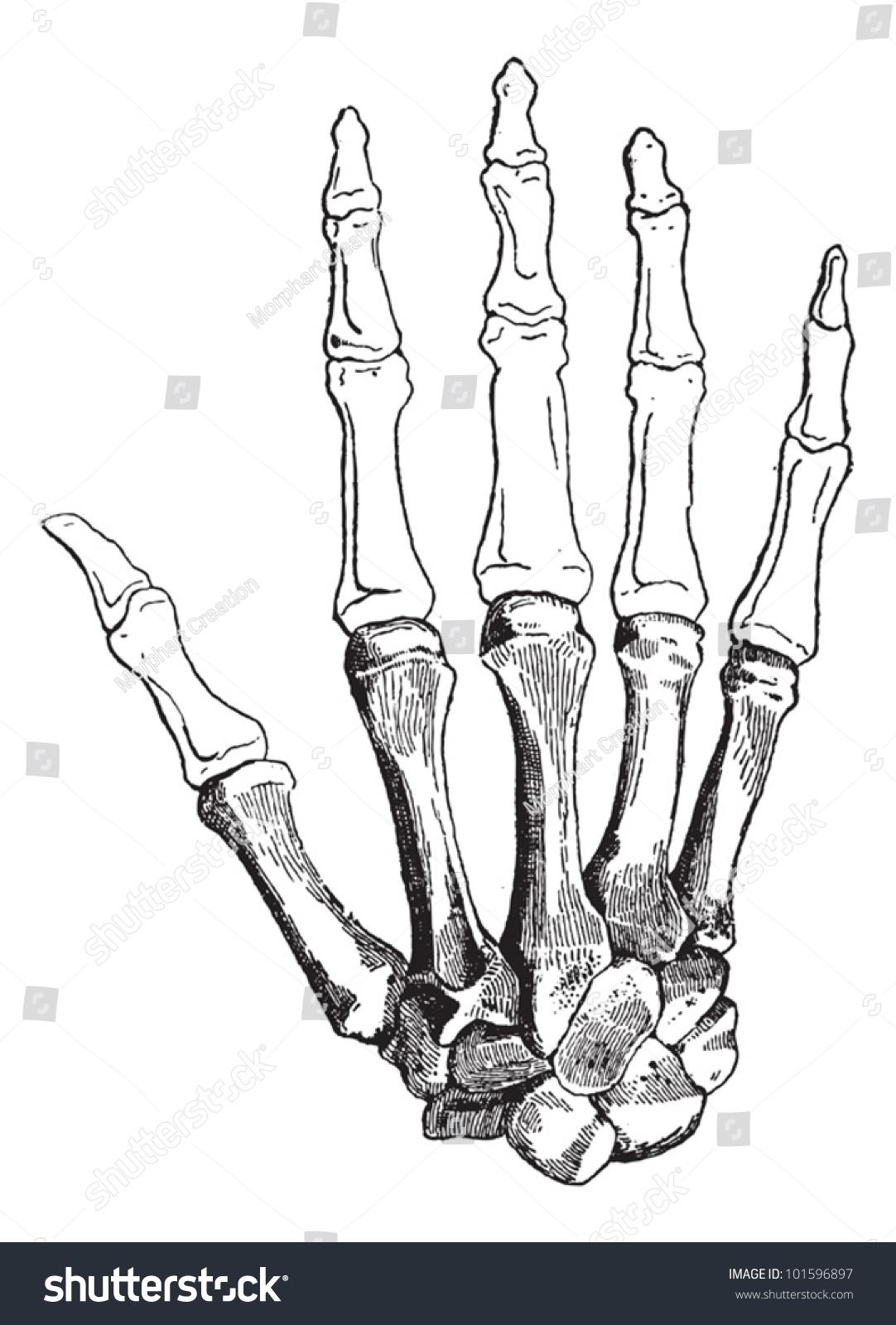 Bones Human Hand Dorsal Side Showing Stock Vector (2018) 101596897 ...
