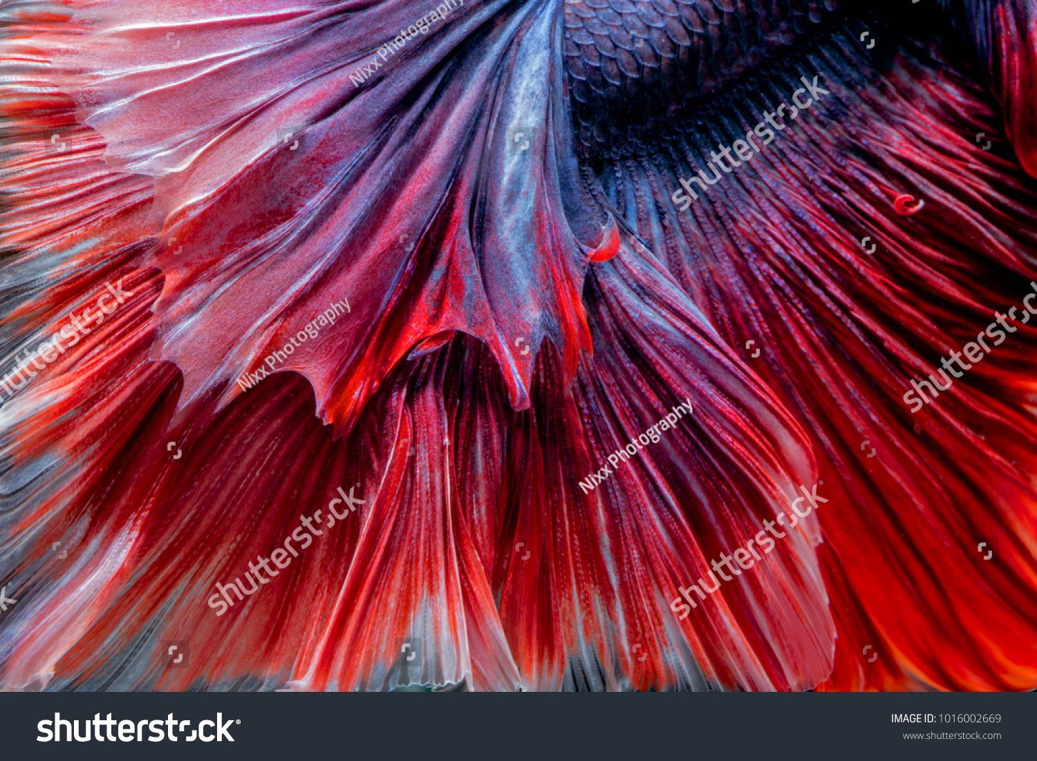 Abstrack Close Photo Colorful Texture Betta Stock Photo (Royalty ...