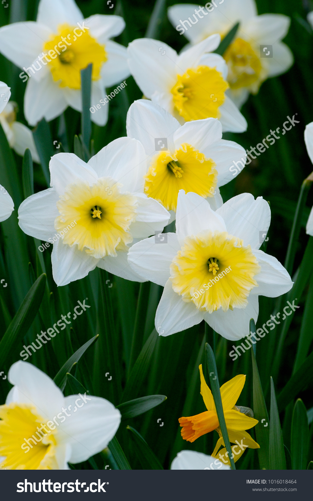 White Flowers Yellow Center Daffodils Daffadowndilly Stock Photo